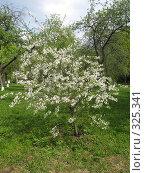Купить «Цветущее вишнёвое дерево», фото № 325341, снято 3 мая 2008 г. (c) ИВА Афонская / Фотобанк Лори
