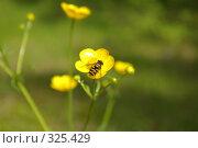 Купить «Журчалка на цветке», фото № 325429, снято 17 июня 2008 г. (c) Сергей Нестеров / Фотобанк Лори