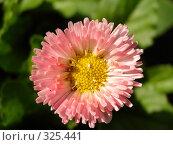 Купить «Садовый цветок», фото № 325441, снято 14 июня 2008 г. (c) Ivan Markeev / Фотобанк Лори