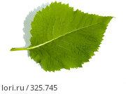 Купить «Зеленый лист на белом фоне», фото № 325745, снято 14 июня 2008 г. (c) Николай Коржов / Фотобанк Лори