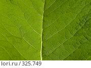 Купить «Фактура зеленого листа», фото № 325749, снято 14 июня 2008 г. (c) Николай Коржов / Фотобанк Лори