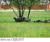Купить «Овцы отдыхают в тени. Мытищинский район Московской области», эксклюзивное фото № 326017, снято 9 июня 2008 г. (c) lana1501 / Фотобанк Лори