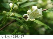 Купить «Жасмин с пчелой», фото № 326437, снято 14 июня 2008 г. (c) Мария Малиновская / Фотобанк Лори