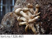 Купить «Грибы на старом пне 1», фото № 326461, снято 13 июня 2008 г. (c) Иван Авдеев / Фотобанк Лори