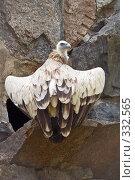 Купить «Гриф в московском зоопарке», фото № 332565, снято 21 июня 2008 г. (c) Ирина Иглина / Фотобанк Лори
