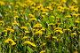 Лето. Одуванчиковая поляна., фото № 332993, снято 20 мая 2007 г. (c) Горшков Игорь / Фотобанк Лори