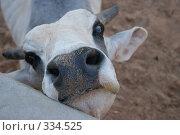 Купить «Корова», фото № 334525, снято 9 сентября 2007 г. (c) Татьяна Колесникова / Фотобанк Лори