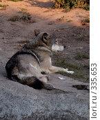 Купить «Волк», фото № 335653, снято 2 октября 2005 г. (c) sav / Фотобанк Лори