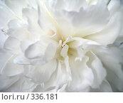 Белый пион. Стоковое фото, фотограф Елена Селезнева / Фотобанк Лори