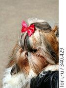 """Собака породы """" Йоркширский терьер"""" Стоковое фото, фотограф ElenArt / Фотобанк Лори"""