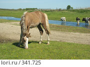 Купить «Жеребец», фото № 341725, снято 18 июня 2008 г. (c) Талдыкин Юрий / Фотобанк Лори