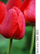 Купить «Тюльпан», фото № 341801, снято 28 апреля 2008 г. (c) Дедюхина Инна / Фотобанк Лори