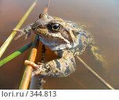 Купить «Травяная лягушка в воде», фото № 344813, снято 21 октября 2018 г. (c) Самохвалов Артем / Фотобанк Лори