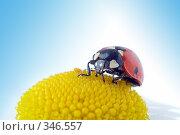 Купить «Божья коровка на цветке», фото № 346557, снято 9 июля 2007 г. (c) Анатолий Типляшин / Фотобанк Лори