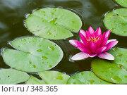 Купить «Кувшинка или водяная лилия.Дендрарий города Сочи.», фото № 348365, снято 3 июля 2008 г. (c) Федор Королевский / Фотобанк Лори