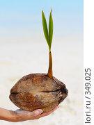 Купить «Проросший плод пальмы  Women's hand are holding baby palmtree», фото № 349025, снято 19 августа 2018 г. (c) М / Фотобанк Лори