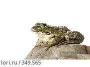 Купить «Лягушка», фото № 349565, снято 7 июля 2008 г. (c) Goruppa / Фотобанк Лори