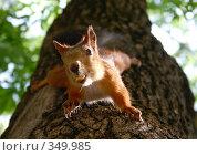 Купить «Белка на дереве держит в зубах арахисовый орех», фото № 349985, снято 18 февраля 2019 г. (c) Елена Ликина / Фотобанк Лори