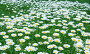 Ромашки на летнем лугу, фото № 353733, снято 29 апреля 2008 г. (c) ММ / Фотобанк Лори