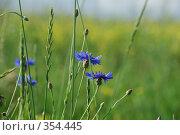 Купить «Васильки в поле», фото № 354445, снято 5 июля 2008 г. (c) Елена Бринюк / Фотобанк Лори