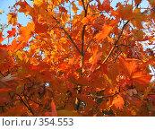 Купить «Листья клена осенью», фото № 354553, снято 7 октября 2007 г. (c) Вера Беляева / Фотобанк Лори