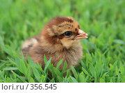 Купить «Цыплёнок», фото № 356545, снято 9 июня 2008 г. (c) Григорий Писоцкий / Фотобанк Лори