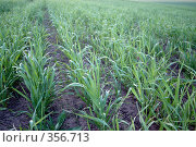 Купить «Молодая пшеница», фото № 356713, снято 16 августа 2018 г. (c) Олег / Фотобанк Лори