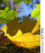 Купить «Листочки», фото № 357889, снято 2 октября 2007 г. (c) анна кузнецова / Фотобанк Лори