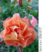 Купить «Розочка», фото № 358017, снято 6 июня 2008 г. (c) Светлана / Фотобанк Лори