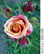 Купить «Роза», фото № 358045, снято 6 июня 2008 г. (c) Светлана / Фотобанк Лори
