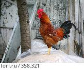 Купить «Задумчивый петух», эксклюзивное фото № 358321, снято 29 июня 2008 г. (c) Наталья Волкова / Фотобанк Лори