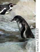 Купить «Пингвин (Spheniscus humboldti)», фото № 358937, снято 2 июля 2008 г. (c) Михаил Крекин / Фотобанк Лори