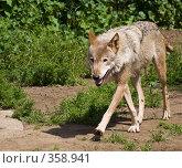 Купить «Серый волк», фото № 358941, снято 2 июля 2008 г. (c) Михаил Крекин / Фотобанк Лори