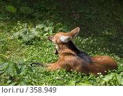 Купить «Красный волк (Chrysocyon brachyurus)», фото № 358949, снято 3 июля 2008 г. (c) Михаил Крекин / Фотобанк Лори