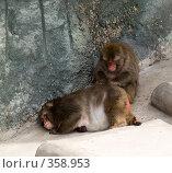 Купить «Японские макаки(Macaca fuscata)», фото № 358953, снято 3 июля 2008 г. (c) Михаил Крекин / Фотобанк Лори