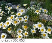 Купить «Цветы», фото № 360053, снято 10 июля 2008 г. (c) Лена Кичигина / Фотобанк Лори