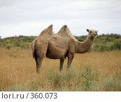 Верблюд. Стоковое фото, фотограф Александр Башкатов / Фотобанк Лори