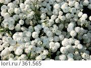 Тысячелистник птармика, или чихотная трава — Achillea ptarmicaL. Стоковое фото, фотограф Светлана Симонова / Фотобанк Лори