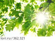 Купить «Солнечные лучи в зеленых листьях дуба», фото № 362321, снято 25 мая 2008 г. (c) Вероника Галкина / Фотобанк Лори