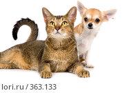 Купить «Щенок породы чихуахуа и кошка в студии», фото № 363133, снято 14 июля 2008 г. (c) Vladimir Suponev / Фотобанк Лори