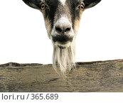 Голова козла, выглядывающего из-за забора. Стоковое фото, фотограф Анатолий Заводсков / Фотобанк Лори