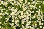 Маленькие ромашки с листьями. Текстура и фон., фото № 366933, снято 21 июля 2008 г. (c) RedTC / Фотобанк Лори