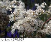Купить «Белые цветы. Таволга, или Лабазник (лат. Filipendula)», фото № 370657, снято 13 июля 2007 г. (c) sav / Фотобанк Лори