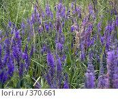 Купить «Цветочный фон. Вероника колосистая», фото № 370661, снято 13 июля 2007 г. (c) sav / Фотобанк Лори