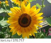 Купить «Подсолнух», фото № 370717, снято 29 июня 2008 г. (c) Евгения Лаврова / Фотобанк Лори