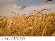 Купить «Злаковые культуры», фото № 372485, снято 2 июля 2008 г. (c) Воробьева Анна / Фотобанк Лори
