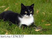 Купить «Кошка играет с пойманным воробьем», фото № 374577, снято 27 июля 2008 г. (c) Виктор Филиппович Погонцев / Фотобанк Лори