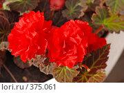 Купить «Бегония», фото № 375061, снято 25 июля 2008 г. (c) Лифанцева Елена / Фотобанк Лори