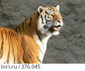 Купить «Тигр», фото № 376045, снято 2 марта 2008 г. (c) Глеб Тропин / Фотобанк Лори