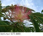 Купить «Цветок акации», фото № 377889, снято 29 июня 2008 г. (c) Евгения Лаврова / Фотобанк Лори